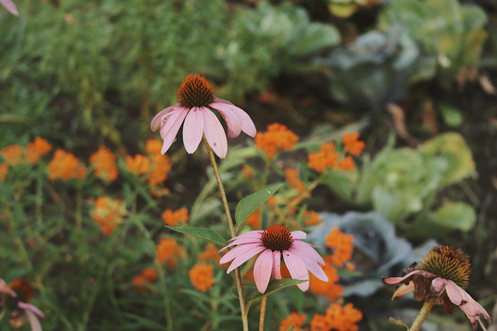 Verity Folk School echinacea flowers in a medicinal herb garden