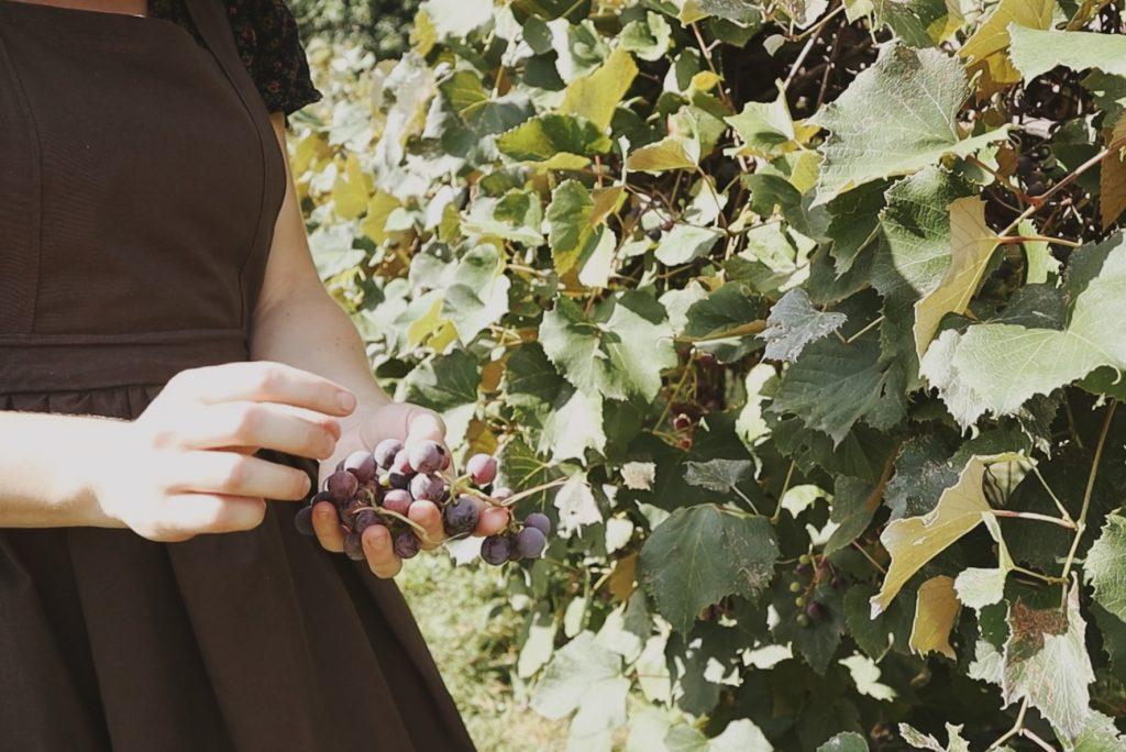 Verity folk school woman in handmade regency era apron harvesting grapes