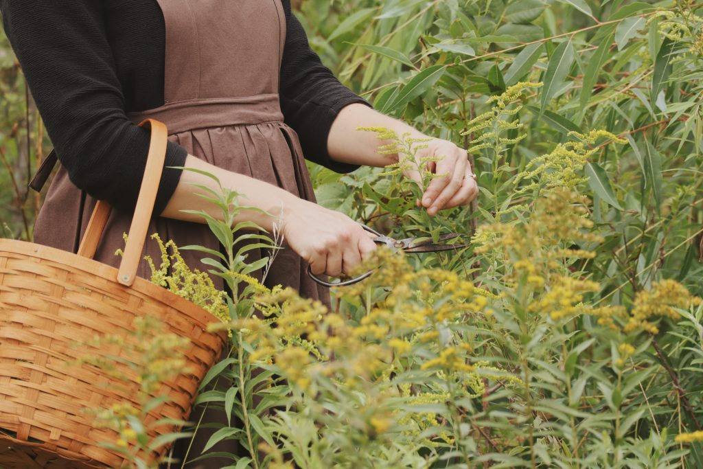Verity Folk School woman in a meadow harvesting goldenrod flowers with a basket on her arm