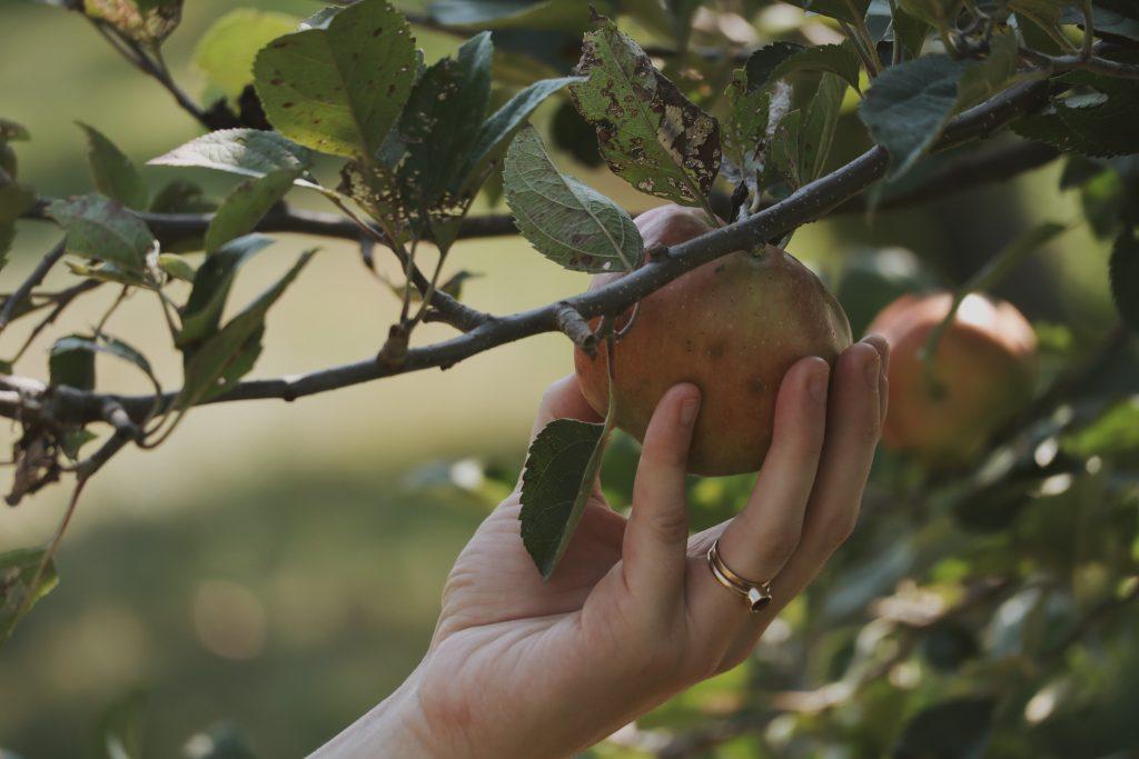 Verity Folk School Rachel Berndt Picking Apples