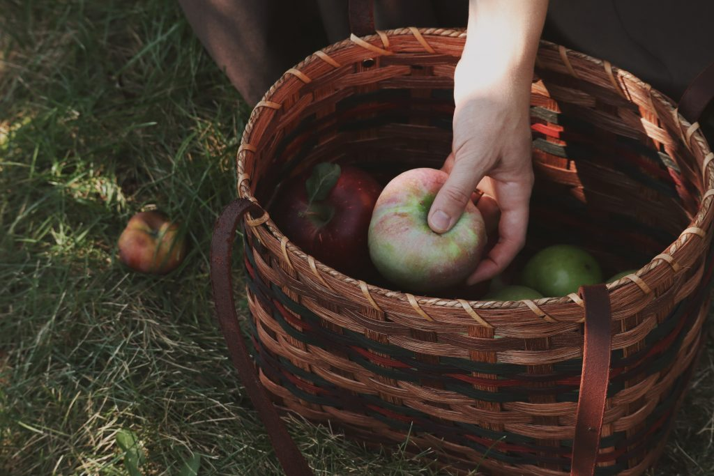 Verity folk school woman placing apples in an Amish made basket on an autumn day in an apple orchard